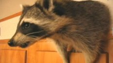 Raccoon Willie