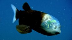 Weird Fish With Transparent Head