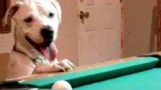 Smart Dog Can Shoot Pool