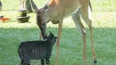 Retarded Deer Licks Cat