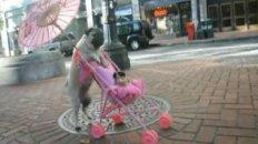 Pug Pushes Stroller