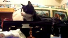 Peek-A-Boo! Cat in a Suitcase