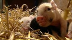 "Animal Lovers Squeal For ""Teacup"" Pigs!"