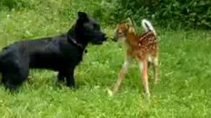 Baby Deer and Dog Playing