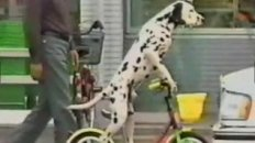 Bike Riding Dalmation