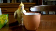 Bird Stirs Coffee