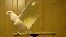 Frostie The Cockatoo Dancing To Shake Your Tail Feather!