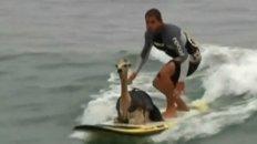 Cowabunga: A Surfing Alpaca!